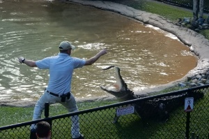 Bluey the croc jumping at one of his keepers. The croc demonstrations are, among many other things, a huge draw to Australia Zoo.