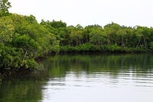 Our mangrove river course