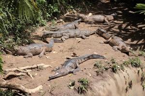 Australia's smaller breed of croc, sunning in numbers in the Koala Gardens.