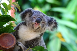 Just look at how pleased with himself this koala looks.