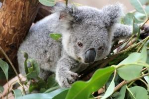 Koalas are adorable. The. End.