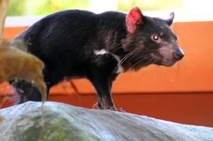 Tasmanian Devils are terrifying.