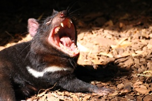 Did I remember to mention Tasmanian Devils are terrifying?