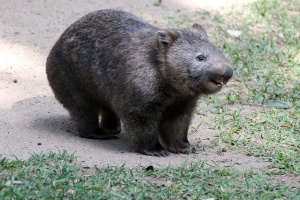 This is THE happiest wombat. Just look at him!