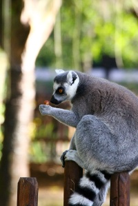Free-roaming lemurs enjoying a late snack. The zoo is big on interactivity and getting you close to the animals.