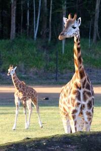 A beautiful giraffe family.