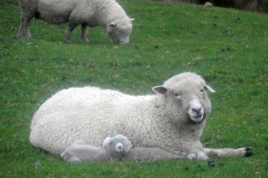 We lucked out a bit and arrived at the sheep farms in lambing season.
