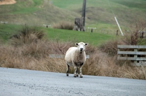 Welcome to New Zealand! Meet one of the many, many, many, many local natives!