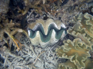 The waters of the Cay were filled with giant clams - weighing in at well over a ton and dwarfing almost all the other coral-dwelling fauna except the coral shelves themselves