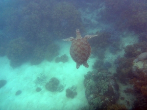 We had the incredible luck to share the waters with the endangered Green Sea Turtle, swimming alongside them all afternoon